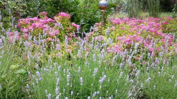 spring lavender row